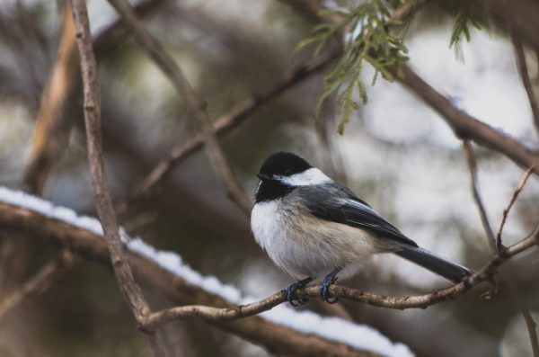 Chickadee sitting on a branch; reflecting the inspirational quote on reinvention about not being afraid to fly
